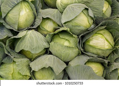 Cabbage background. Fresh cabbage from farm field. Close up macro view of green cabbages. Vegetarian food concept. Brassica oleracea