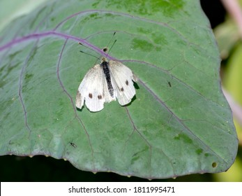 A cabbage butterfly with damaged wings lands on a red cabbage leaf.