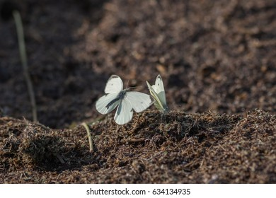 cabbage butterfly flying