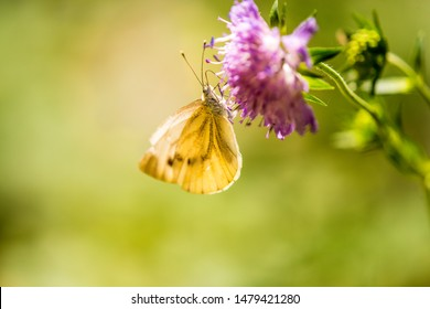 cabbage butterfly on flower of a field scabious