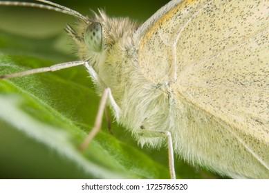 The cabbage butterfly (Pieris brassicae)