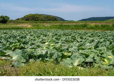 Cabbage  in  cropland ready to harvest
