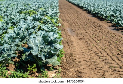 Cabbage farm. Organic spinach leaves on the field. Agriculture bio production concept. Sunny day.
