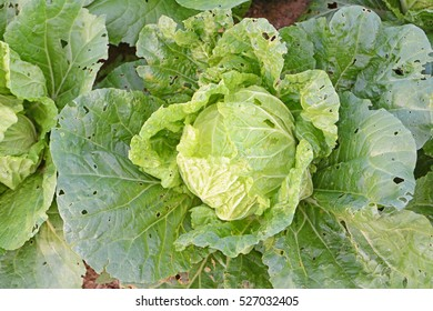 Cabbage in field