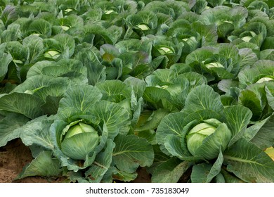 Cabbage field of fresh harvest, natural light