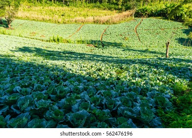 cabbage field in the morning light