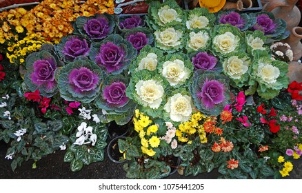 Cabbage flowers surrounded by multicolored flowers colorful flower background elemnts design garden