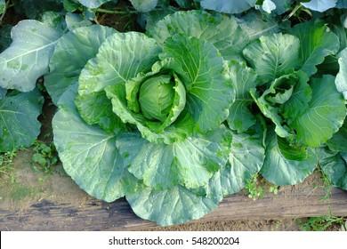 Cabbage fresh on the farm, image 2