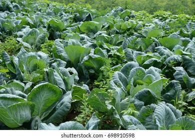 Cabbage in the garden.