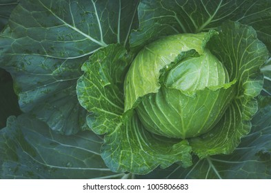 cabbage in the garden with vintage filter