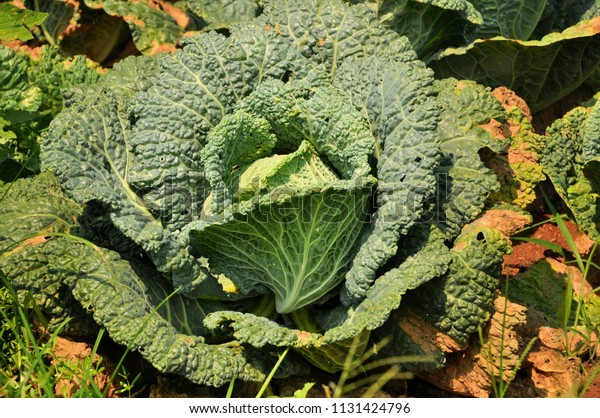 Cabbage growing in a garden.