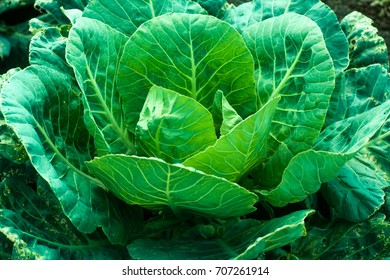 A cabbage grows in a vegetable garden