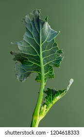 Cabbage leaf on a green background.