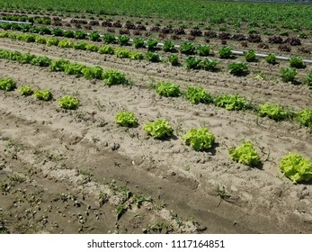 cabbage on the farm