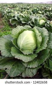 Cabbage on a farmer floor