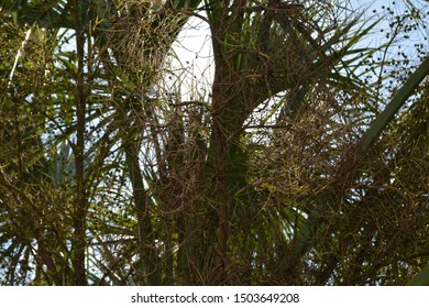 Cabbage palm shot from underneath, wit bright sunlight highliting berries, and scrub brush