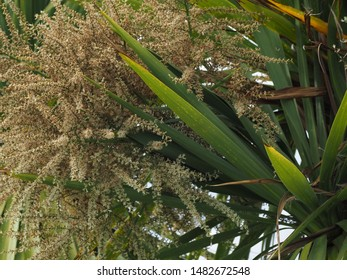 Cabbage palm tree (Sabal Palmetto) blooming with white flower in Sidney, Vancouver Island, BC, Canada