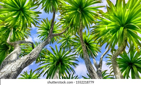 Cabbage palm tree (Sabal Palmetto) canopy