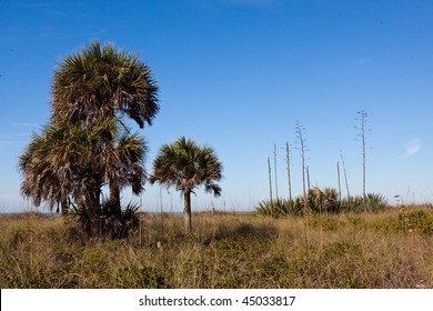 Cabbage palms and century plants in Florida