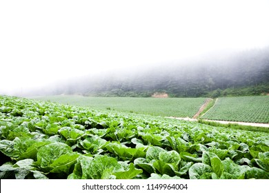 A cabbage patch in the highlands of Gangwon-do in Korea.