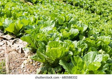 Cabbage plots.
