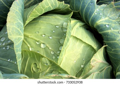 Cabbage reached maturity and is waiting for its application