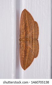 A Cabbage Tree Moth (Epiphryne verriculata) photographed at night whilst it rests against a white painted wooden doorframe in Rotorua, New Zealand.