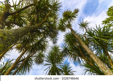 The cabbage tree is one of the most distinctive trees in the New Zealand landscape; One Tree Hill Park, Auckland New Zealand; Native Plants