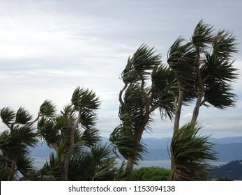 Cabbage tree palms otherwise known as cordyline australis blowing in wind near Karori Wellington New Zealand