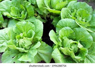 Cabbage in the vegetable garden in summer.