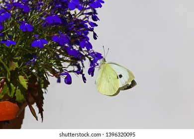 cabbage white butterfly closeup Latin pieris rapae feeding on a purple or blue lobelia flower campanulaceae in spring in Italy