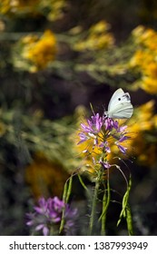 A Cabbage White Butterfly nectars on the pink flowers of a Rocky Mountain Bee Plant