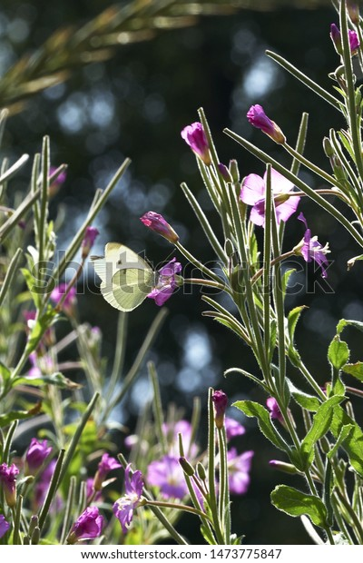 Cabbage white butterfly on flower
