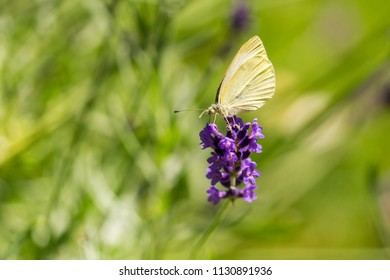 Cabbage White Butterfly (Pieris brassicae) on a Lavender