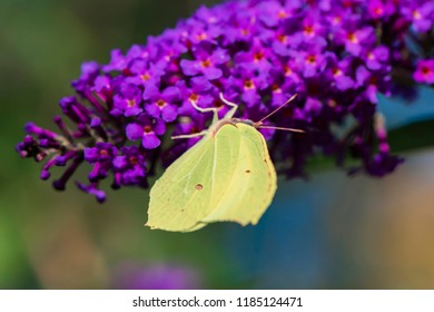 Cabbage white butterfly (Pieris brassicae) sitting on the blossoms of a butterfly bush.
