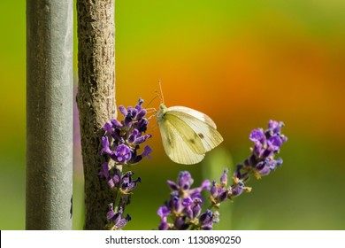 Cabbage White Butterfly (pieris rapae) on a Levender Flower