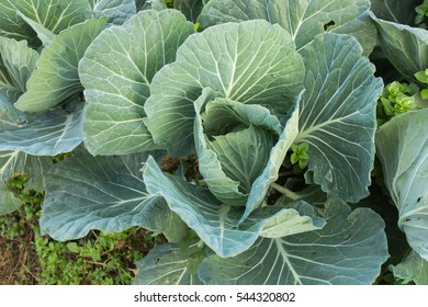 cabbages plantation in the mountain from thailand