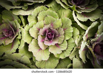 Cabbages vegetable texture background / Ornamental cabbage purple flower for decorative in the garden