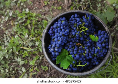 Cabernet Sauvignon grapes in bucket after harvest