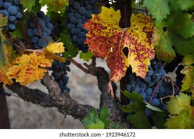 Cabernet Sauvignon Grapes in Napa Valley - Shutterstock ID 1923946172