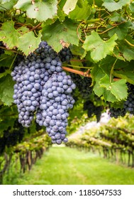 Cabernet Sauvignon grapes variety. Cabernet Sauvignon is one of the world's most widely recognized red wine grape varieties. South Tyrol- Trentino Alto Adige, northern Italy.