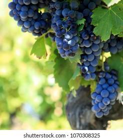 Cabernet sauvignon red wine grapes French vineyard