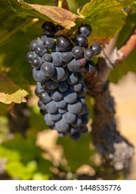 Cabernet Wine Grapes for 2019 Harvest