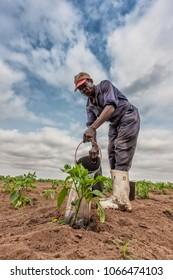 CABINDA/ANGOLA - 09 JUN 2010 - African farmer watering cabbage planting, Cabinda. Angola.
