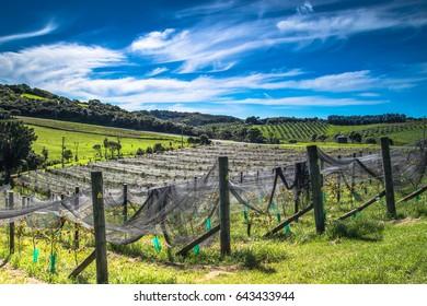Cable Bay Vineyards, Waiheke ISland, New Zealand