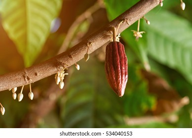Cacao branch with young fruit and blooming cocoa flowers