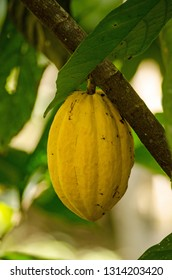 A cacao / cocoa pod ripening on a tree in the rainforest of Tobago, Trinidad and Tobago.