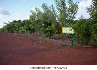 Cacao Crop with Sign in Hawaii
