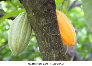 Cacao fruit pod yellow close up tree green jungle background