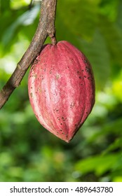 Cacao fruit with  purple  cacao in the garden.